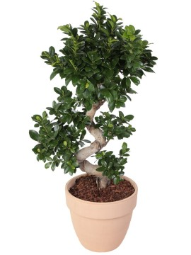 "BONSAI F. GINSENG ""S"" SHAPE 70/80 CM. IN VASO PALLADIO D. 30"