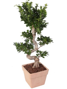 "BONSAI F. GINSENG ""S"" SHAPE 70/80 CM. IN QUADRO D. 26"