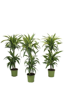 DRACAENA LEMON LIME T. 60 D. 21