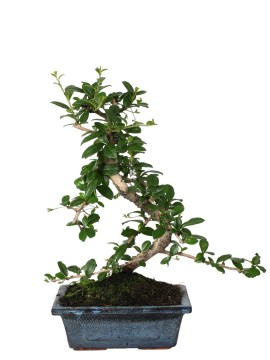 "BONSAI CARMONA DIAMETRO 15 (""S"" SHAPE)"