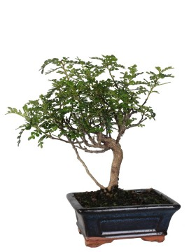 BONSAI PEPPER D. 15