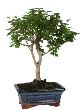BONSAI LIGUSTRUM D. 15