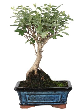 BONSAI LIGUSTRUM GOLDEN (VARIEGATO)  D. 15