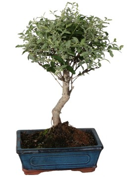 BONSAI LIGUSTRUM GOLDEN (VARIEGATO) D. 20