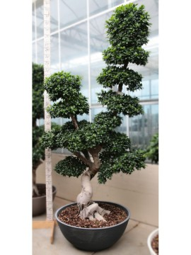 FICUS HIGH DRAGON SHAPE 160/180 SMALL