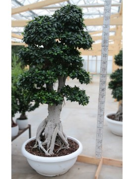 FICUS KING OF GINSENG 40KG