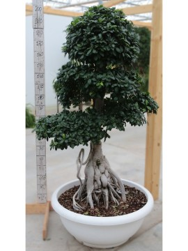 FICUS KING OF GINSENG 40KG SMALL