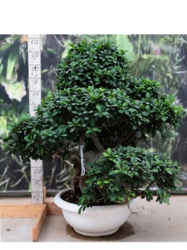 FICUS SHIMA ROOT (SMALL) 80/100