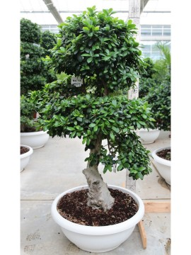 FICUS SMALL STRONG TREE SHAPE SMALL