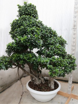 FICUS SMALL STRONG TREE SHAPE EXTRA