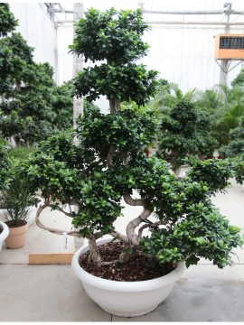 FICUS THREE MULTI STEM SHAPE 120/140CM
