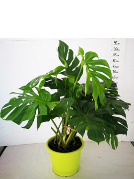 PHILODENDRON MONSTERA D. 25