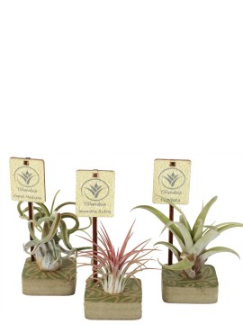 TILLANDSIA MIX IN CUBO