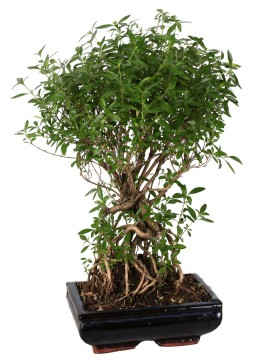 BONSAI SERISSA BALL D. 20 CM.