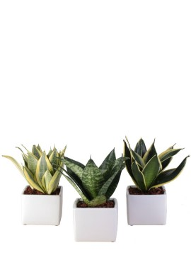 SANSEVIERIA MIX IN BANGKOK D. 10