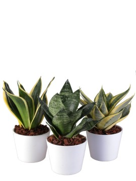 SANSEVIERIA MIX IN DALLAS D. 10
